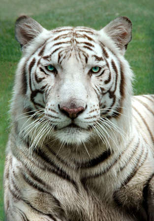 White Bengal Tiger in a close uip view portrait looking into the camera