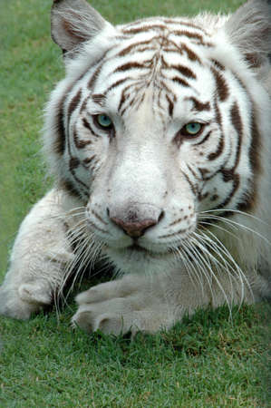 White Bengal tiger close up looking into the camera Stock Photo - 1525382