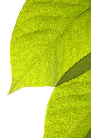 nervure: Hojas verdes brillantes aislados en un fondo blanco  Foto de archivo
