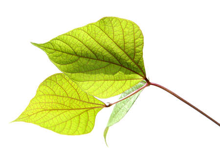 Leaves isolated over a white background Stock Photo - 1788569