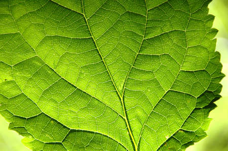 venation: Green Leaf in close up view