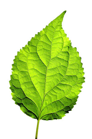 nervure: Leaf isolated over a white background Stock Photo