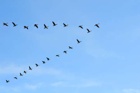 gansos: Geeese canadiense volando en formaci�n de la V final de la tarde