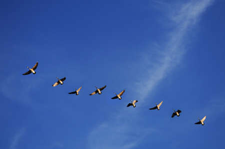 Canadian geese in flight over a blue sky Stock Photo - 7751219
