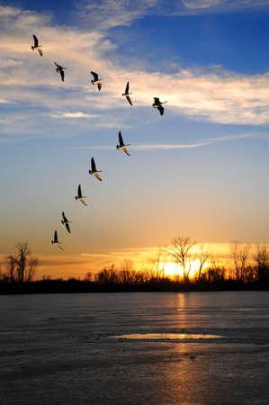 일몰 동안 얼어 붙은 호수 위로 V 형성에서 날아 다니는 캐나다 기러기 스톡 콘텐츠
