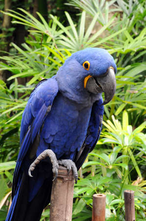 psittacidae: Blue Hyacinth macaw parrot standing on bamboo Stock Photo