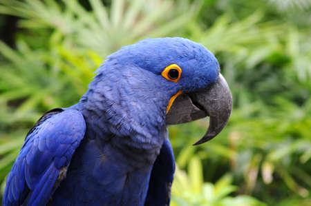 psittacidae: Blue Hyacinth macaw parrot in its natural environment