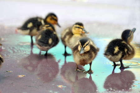 Mallard Ducklings playing in shallow water Imagens