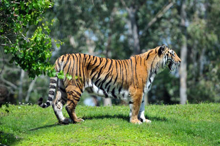 Bengal tiger in its habitat Stock Photo - 7793840