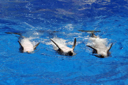 Three playful dolphins swimming on their backs Stock Photo
