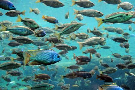 tilapia: Bass and tilapia underwater