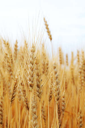 Detail of golden wheat in a field photo