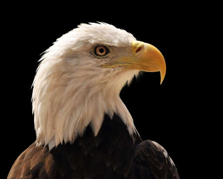 eagle feather: Head of bald eagle isolated over a black background