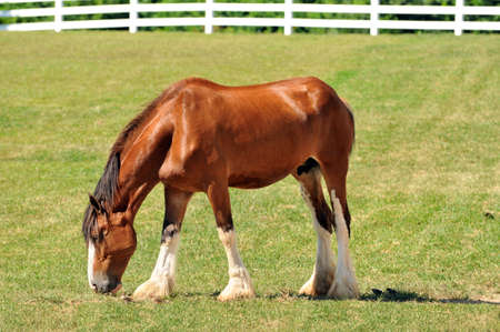 barnyard: Young Cladesdale horse on a farms pasture