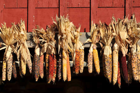 Indian Corn Husks on the side of a barn photo