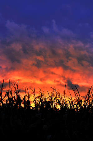 Corn field at sunset with colorful clouds Stockfoto