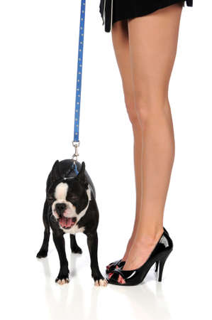 boston terrier: Boston terrier yawning next to womans legs in high heels Stock Photo