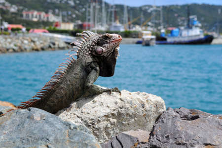 Iguana resting on rock at Saint Thomas Island, United States Virgin Islands photo