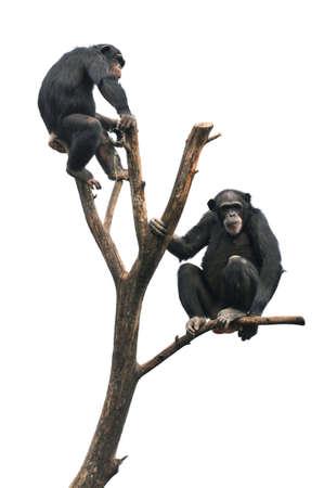 chimp: Chimpanzees sitting on bare tree isolated over white background Stock Photo