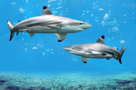 reefs: Blacktip Reef sharks swimming in tropical waters over coral reef
