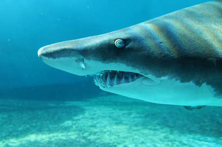 Portrait of sand shark in close up view