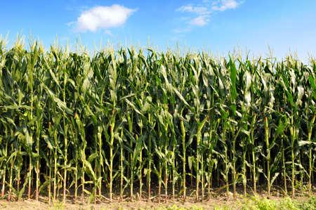 planta de maiz: Maizal durante un d�a soleado con cielo azul y las nubes
