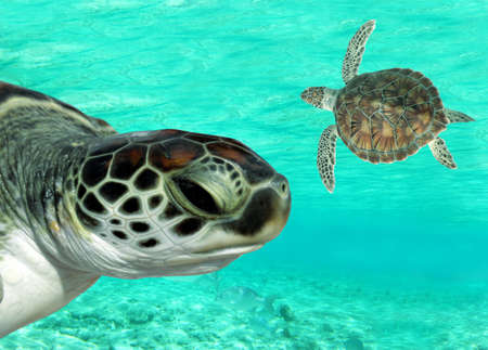 Green sea turtles swimming in clear waters of the Caribbean photo