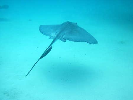熱帯の海で泳いでスティングレイ