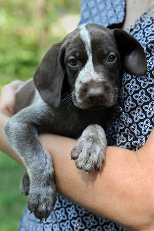 Portrait of German Shorthaired Pointer puppy being held photo