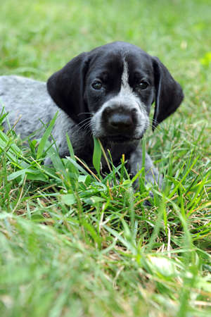 German shorthaired pointer puppy resting on grass photo