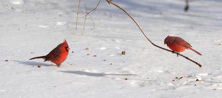 明るい日中雪に枢機卿の鳥
