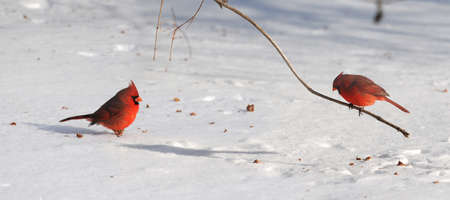 Cardinal birds on snow during bright day 스톡 콘텐츠