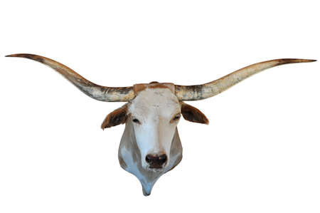 longhorn cattle: Head of longhorn isolated over white background