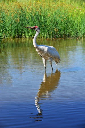 Today, there are 534 Whooping Cranes  382 in the wild, 152 in captivity  A conservation success story as in the winter of 1942 there were only sixteen birds left