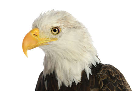 Head of bald eagle isolated over white background Imagens