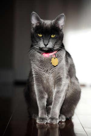grey cat: Korat domestic cat sitting on wood floor Stock Photo