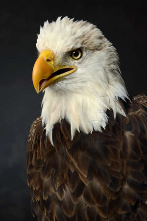 Portrait of bald eagle in studio photo