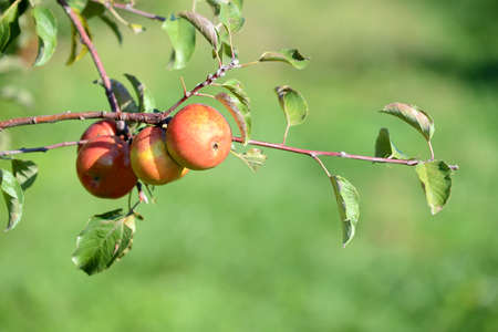 Red apples ripening on branch during sunny day photo