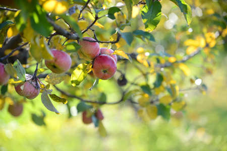 Red apples in orchard in the Fall ready for harvest