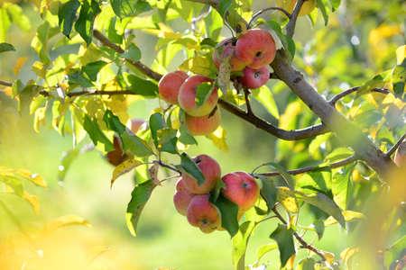 pommier arbre: Pommes rouges pr�ts � �tre r�colt�s au cours de l'automne au d�but Banque d'images