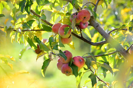 apple orchard: Red apples ready for harvest during early fall Stock Photo