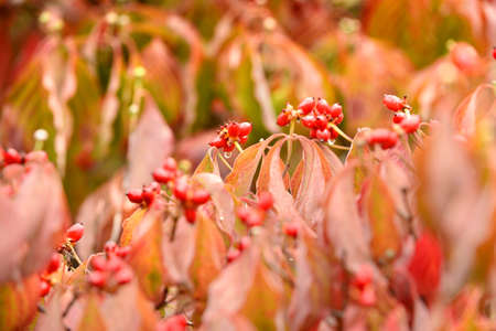 dogwood tree: Dogwood tree branches with flowering buds in early Fall