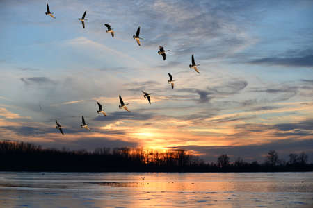 Group of Canadian geese flying i V formation over frozen lake