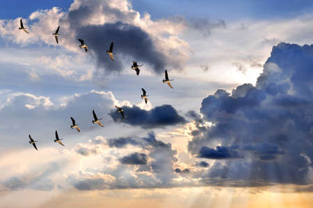 Group of Canadian geese flying in V-formation over sunburst Stockfoto