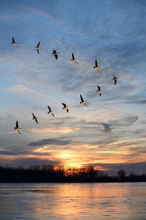 bandada pajaros: Gansos canadienses que vuelan en V-formación sobre sunburst