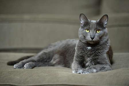 korat: Domestic Korat cat laying on sofa Stock Photo