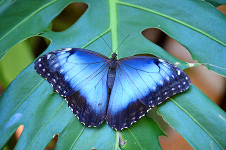 Blue Morpho butterfly perched on leaf Stockfoto