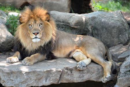 成人男性アフリカ ライオン岩の上に敷設