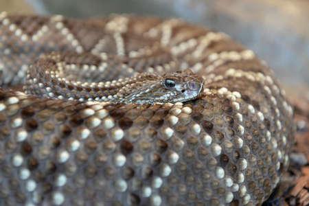 serpiente de cascabel: Serpiente de cascabel diamante occidental enrollado sobre el cuerpo