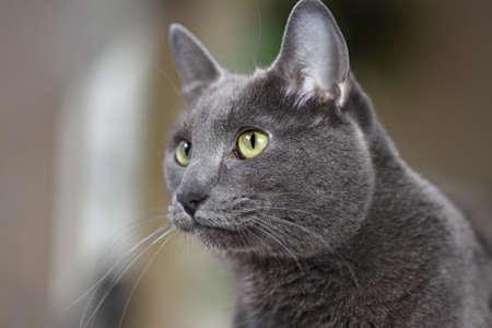 korat: Portrait of young Korat cat looking intently
